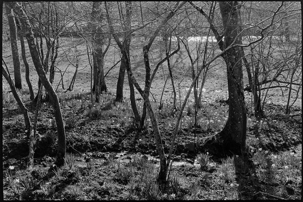 Early daffodils in wood, Millhams, Dolton, April 1980
